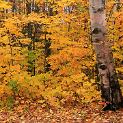 """Birch Bark and Autumn""<br />