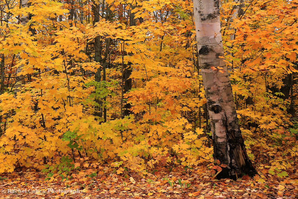 &quot;Birch Bark and Autumn&quot;<br />