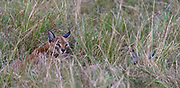 Female and cub caracal hiding in the savannah grass of Maasai Mara, Kenya.