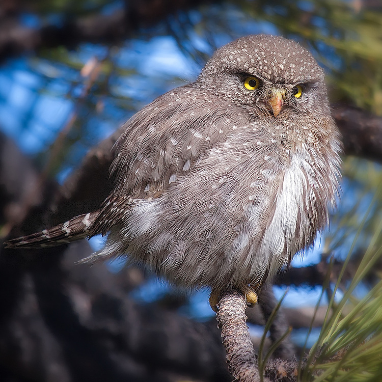 Northern Pygmy Owl near Walker Ranch, Boulder, CO