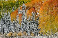 Fresh new snow decorates an autumn landscape in the Uncompahgre Range & wilderness; Uncompahgre National Forest, Owl Creek Pass, Colorado