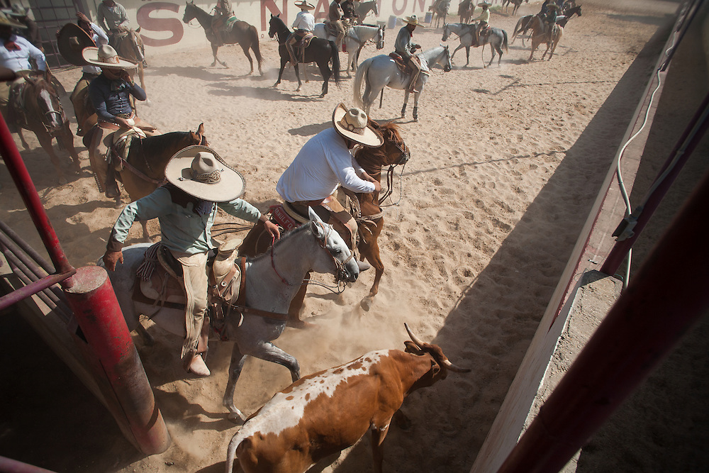 Julia Robinson photo.During the coleadero, a charro races alongside a steer, grabs it by the tail and knocks it off its feet.  In the era of the Mexican hacienda, charros used this technique to down an animal that could then be branded or medicated.