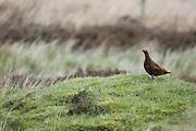 &lt;b&gt;EN&lt;/b&gt;. Red Grouse (Lagopus lagopus scoticus). Male scouting its territory.  Yorkshire. England. UK.<br /> &lt;b&gt;ES&lt;/b&gt;. Lag&oacute;podo escoc&eacute;s (Lagopus lagopus scoticus).  Macho oteando su territorio.  Condado de Yorkshire, Inglaterra, Reino Unido.