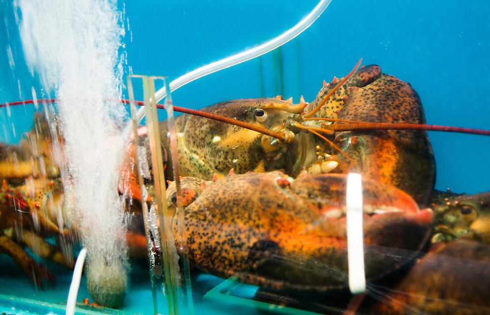 "Lobster in a tank at a stall in ""Pojangmacha Town"" at Haeundae Beach, Busan, South Korea."