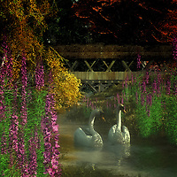 Surrounded by beautiful flowers, water, and lush greens, Two Swans and a Bridge depicts two gorgeous, effortlessly regal swans on a beautiful day. They are moving slowly along the water. They almost seem to be in some sort of conference. Did you know that swans can mate for life? Perhaps they are partners. A bridge nearby would allow us to stop, watch the scene in front of us, and wonder what might happen next. This acryl on canvas piece is the kind of moment we would love to experience for ourselves. Available as t-shirts, wall art, or interior home décor products. .<br />