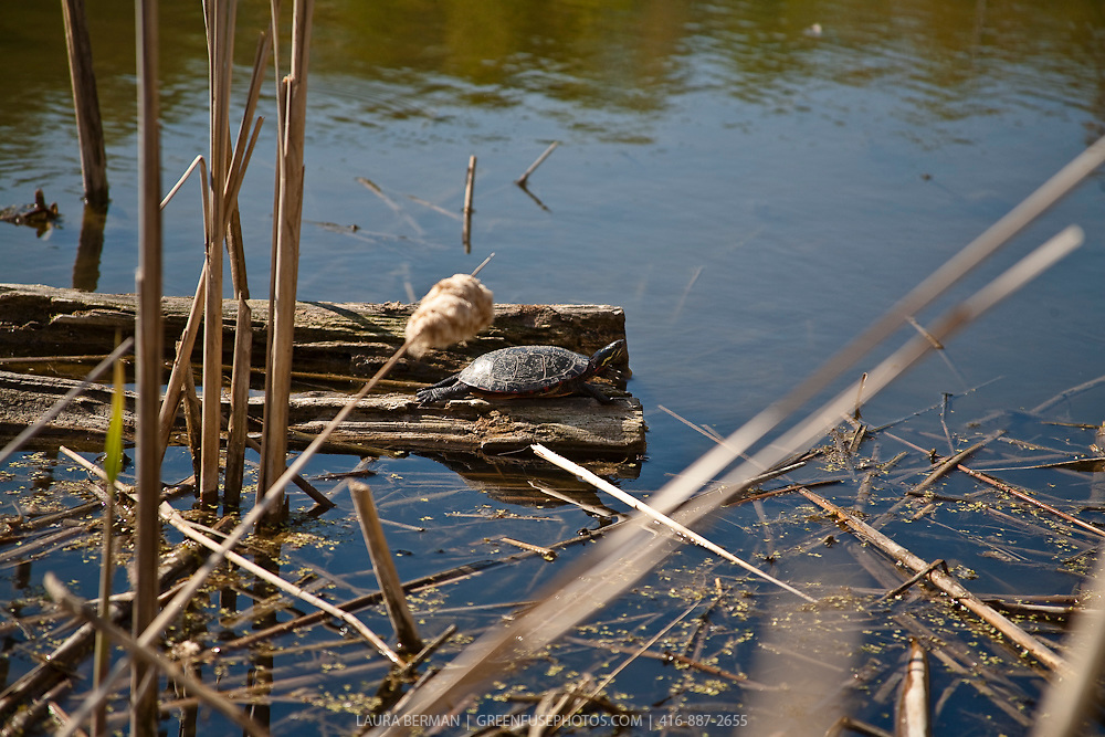 Turtle in wetland (swamp, bog, swale, marsh)..