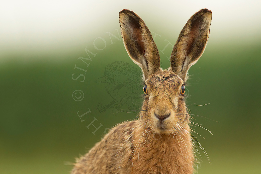 European Hare (Lepus europaeus) adult, close up of head, Norfolk, UK.