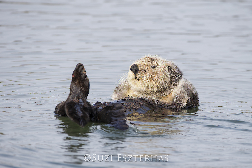 Sea Otter<br /> Enhydra lutris<br /> Grooming<br /> Monterey, California