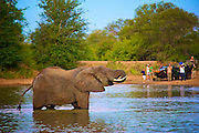 A single adult elephant drinks at a dam as tourists look on from the bank.  Dusk, South Africa.