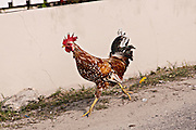 Local rooster in Dunmore Town, Harbour Island, The Bahamas