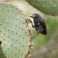 Ecuador, Galapagos Islands National Park, Santa Cruz Island, Puerto Ayora, Cactus Finch (Geospiza conirostris) feeding at Darwin Research Station in
