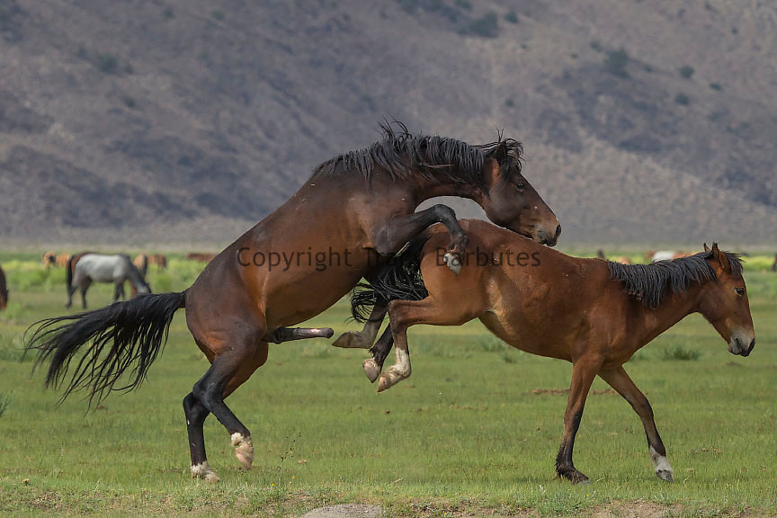 Wild mustangs, Eastern Sierra high desert, California