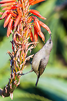 Female Greater Double-Collared Sunbrid drinking nectar from an aloe flower, Garden Route National Park, Eastern Cape, South Africa,