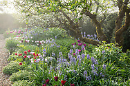 Apple trees underplanted with tulips, Camassia leichtlinii, Tiarella cordifolia, Lamprocapnos spectabilis 'Alba' and geraniums