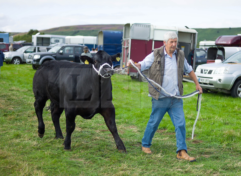© Licensed to London News Pictures. <br /> 13/08/2014. <br /> <br /> Danby, North Yorkshire, United Kingdom<br /> <br /> A man walks his cow down to the show arena during the Danby Agricultural Show in North Yorkshire. <br /> <br /> This year is the 154th show which was founded in 1848. It is the oldest agricultural show in the area and offers sheep dog trials, judging of a variety of different animals such as cattle, sheep, ferrets, horses and rabbits along with different classes of horticulture and dairy. <br /> <br /> Photo credit : Ian Forsyth/LNP