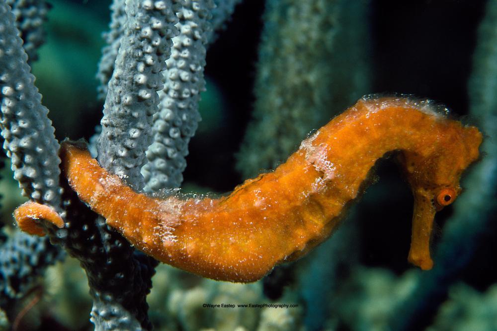 Lined Seahorse (Hippocampus erectus). Bonaire