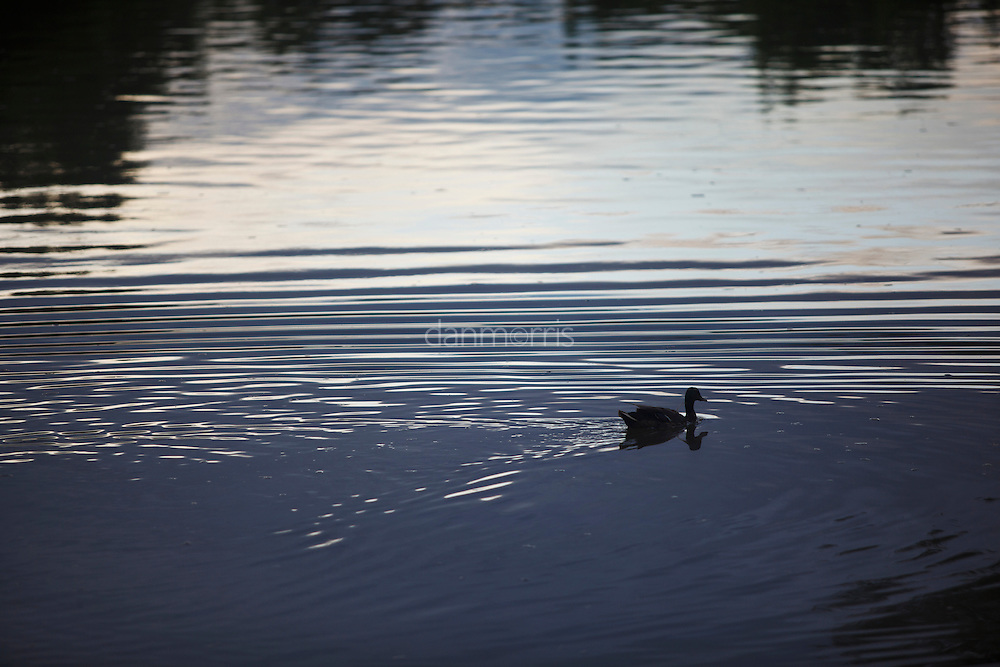 Mallard swims unknowingly in oily waters, Liberty Park, Salt Lake City