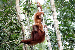 Orangutans during a visit by the Prince of Wales to the Sarawak Semenggoh Wildlife Rehabilitation Centre in Kuching, Malaysia.