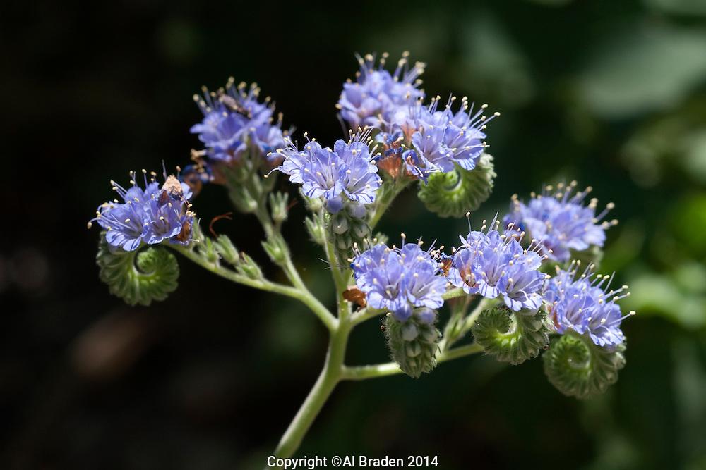 Blue Curls, Phacelia congesta, Medina County, TX.