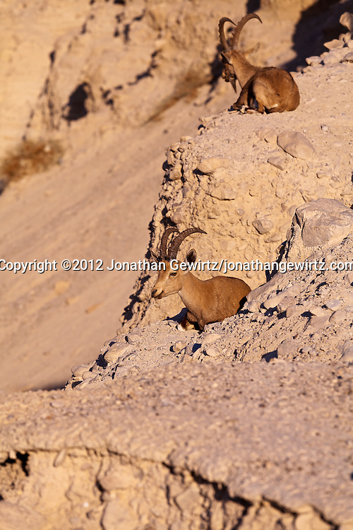 A pair of Nubian ibexes (Capra nubiana) resting on a ledge over Nahal David in the Ein Gedi nature preserve. WATERMARKS WILL NOT APPEAR ON PRINTS OR LICENSED IMAGES.