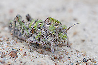 A well-camouflaged Saw-Backed Locust sits motionless on the ground in the West Coast National Park, Western Cape, South Africa