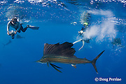 Stephen Wong and Takako Uno photograph Atlantic sailfish, Istiophorus albicans, attacking bait ball of Spanish sardines (aka gilt sardine, pilchard, or round sardinella ), Sardinella aurita, off Yucatan Peninsula, Mexico ( Caribbean Sea ) NR 401, 402