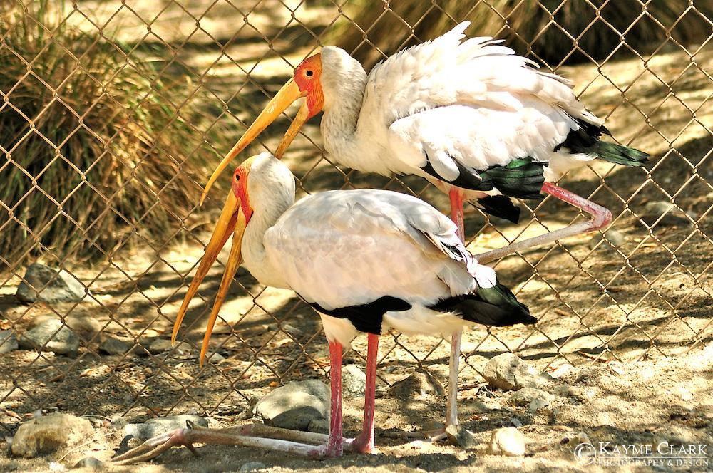 Yellow-billed Stork (Mycteria ibis)