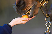 Horse being fed an apple, Oxfordshire, United Kingdom.