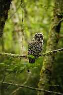 Eyes of the Trees - Barred Owl - Ecola State Park, Oregon Edition of 100 EXP0142