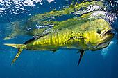 Dolphin (Mahi) Stock Photos