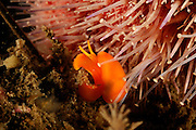 Sea slug (Berthella sideralis) is a Pleurobranchidae, Atlantic Ocean, Strømsholmen, North West Norway | Atlantischer Ozean, Strømsholmen, Nordwestküste von Norwegen
