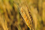 Wheat closeup <br /> Webb<br /> Saskatchewan<br /> Canada