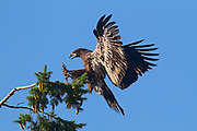 A juvenile bald eagle (Haliaeetus leucocephalus) comes in for a landing. At the time of this image, the young eagle was a little over three months old and had been flying for about one month.