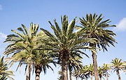 Palm trees line the road into Haria, Lanzarote, Canary Islands, Spain