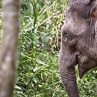Pygmy Elephants in Sabah, Malaysia on Borneo