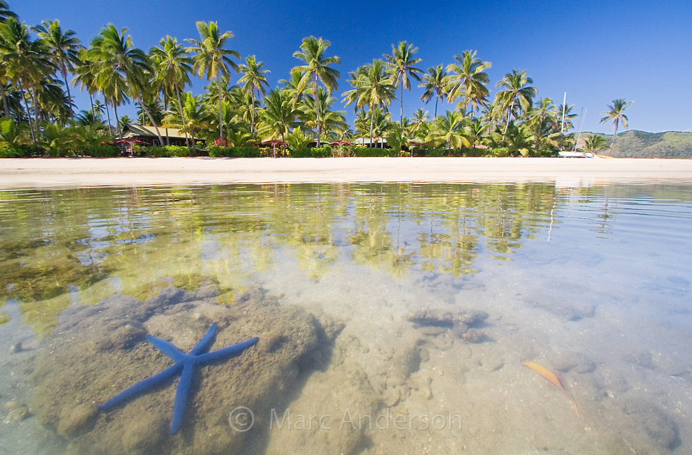 A blue starfish, linckia laevigata, in beautiful clear water off a tropical island in Fiji.