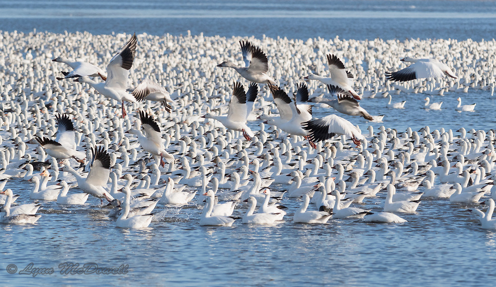 Love how this image includes the graphics of the Snow Geese flock on the water and the beauty of flight
