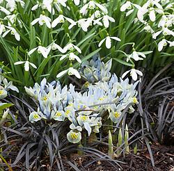 Iris 'Katharine Hodgkin' (Reticulata) AGM with Galanthus 'Magnet' AGM (snowdrop) and Ophiopogon planiscapus 'Nigrescens' (Black Mondo)