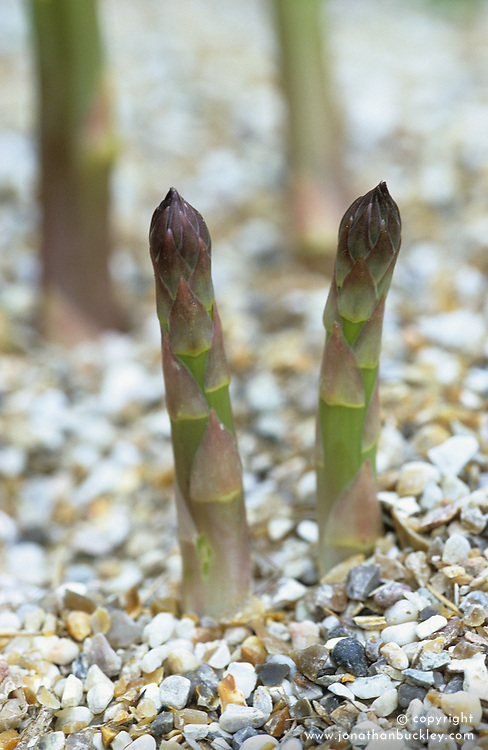 Asparagus with grit mulch