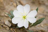 Prairie Evening Primrose  (Oenothera albicaulis)