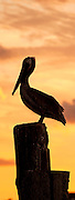 A brown pelican photographed at Silver Lake, Ocracoke Island <br /> North Carolina.