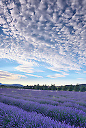 Lavender field ans clouds near the town of Gordes, Vaucluse,Provence,France