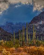 Giant Saguaros in Organ Pipe Cactus National Monument, southern Arizona.