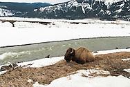 Bison, (bison bison), Lamar River, Lamar Valley, Yellowstone National Park
