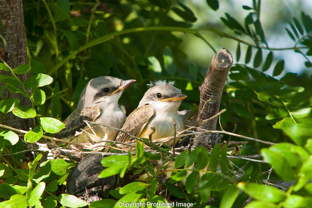 Juvenile Western Kingbirds waiting for thier mother to arrive with dinner.