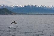 Dusky Dolphin, Kaikoura, New Zealand