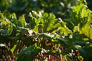Swiss chard in a garden.