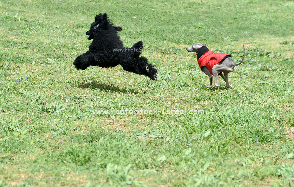 Playful Black Miniature Poodle and Italian Greyhound running and playing on the grass outside