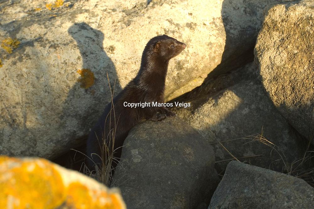 American mink (Mustela vison)