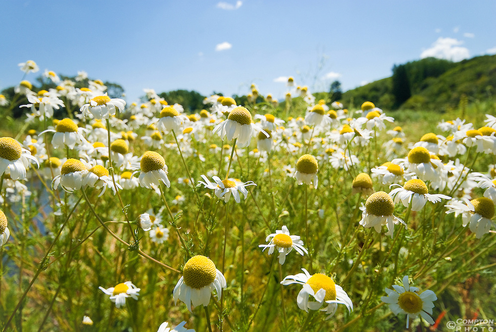 Field of wild white daisies.